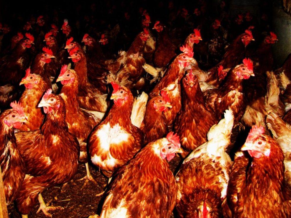 Nach Wildvögeln ist jetzt auch eine 30.000er Hühnerhaltung mit H5N8-Geflügelpest infiziert.(Symbolbild)