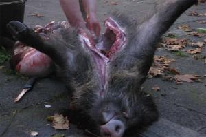 Aufgebrochenes Wildschwein