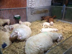 Pikant: Während Tierärzte über Ethik diskutierten, litten gestresste Rinder und überhitzte, kurzatmige Schafe in den Hallen der Eurotier
