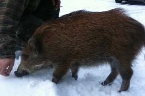 Süß sind sie ja schon: Wildschweine