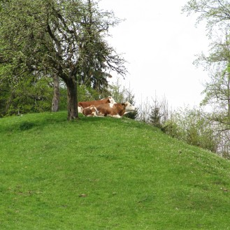 Die Almidylle kann trügen: In der deutsch-österreichischen Grenzregion gibt es ein Rinder-TBC-Problem.