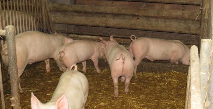 Der Idealzustand? Schweinehaltung auf Stroh mit intaktem Ringelschwanz, (Foto: © WiSiTiA/aw)