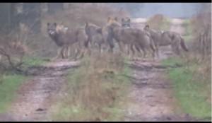 Spannende Begegnung: 20 Minuten standen sich im Heidekreis ein Jäger und ein achtköpfiges Wolfsrudel gegenüber.