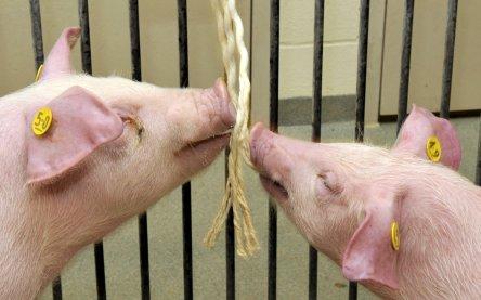 Kaustrick-Methode: Die natürliche Neugier der Schweine sorgt für die Speichelproben.