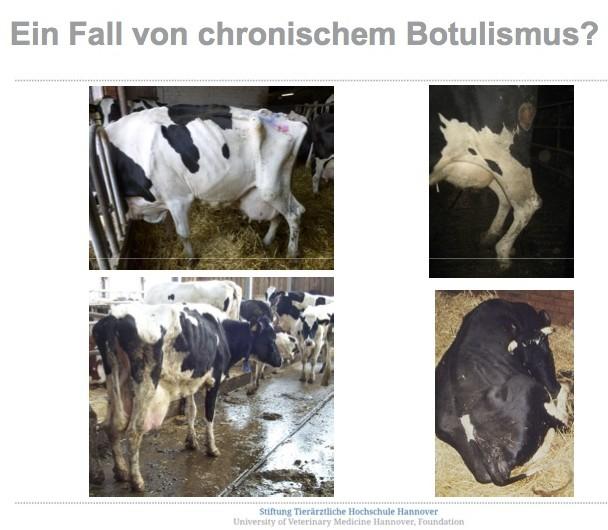 """Rinder aus Betrieben mit Verdacht auf """"Chronischn Botulismus""""."""