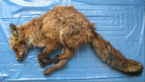 An Staupe verendeter Fuchs.