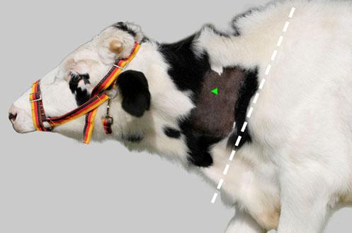 Empfohlene Injektionsstelle für den Tuberkulintest beim Jungtier/Kalb.
