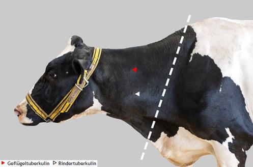 Empfohlene Injektionsstelle für den Tuberkulintest beim Rind.