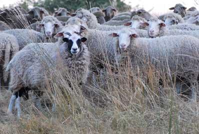 Neues Pestivirus: In Schafen und Ziegen entdeckt, hat es hohe Ähnlichkeit mit dem Virus der Klassischen Schweinepest. Das kann das Monitoring über Antikörper erschweren.