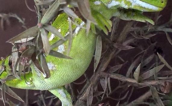 Extrem selten: Dieser geschmuggelte Grüngecko wurde über eine Wisenschaftsdatenbank identifiziert und zurück nach Neuseeland gebracht. (Foto: © Dr. Thomas Ziegler/Zoo Köln)