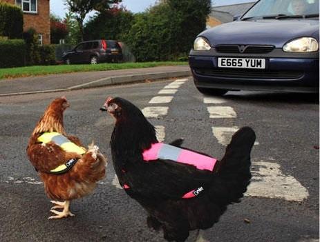 Immer mehr Hühner entwichen aus Freilandhaltungen und gefährden den Straßenverkehr. Deshalb verlangt die EU eine Kennzeichnungspflicht. (Foto: ©omletshop.de)