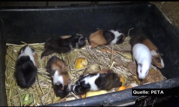 Meerschweinchenzucht in Plastikwannen. (© PETA/Report Mainz)