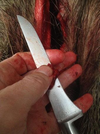 Falsch: Beim Aufbrechen von Wildtieren sollten Jäger immer Gummihandschuhe tragen.