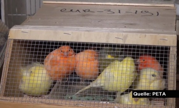 Ziervögel in schuhschachtelgroßen Käfigen. (©PETA/Report Mainz)