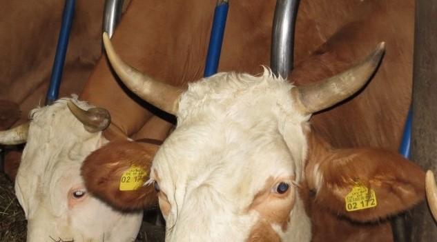 Milchkühe in Anbindehaltung (Halsrahmen) (Foto:©WiSiTiA/aw)