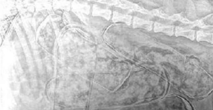 Das Röntgenbild zeigt Kokainpakete im Hundebauch (© Foto: italienische Polizei)