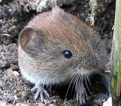 Wühl- oder Rötelmäuse können Vogelgrippeviren übertragen. (Foto: © soebe/Wikipedia – GNU-FDL-Lizenz)