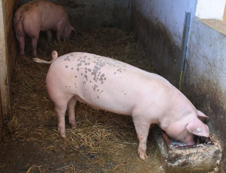 Der Ringelschwanz als Gesundheitsinidikator: Das hinter, kranke Schwein lässt den Schwanz hängen, vorne ist er schön geringelt. (Foto: © WiSiTiA/aw)