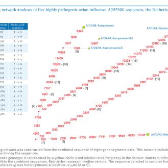 Wildvögel als Virus-Träger: Genanalyse der niederländischen H5N8-Viren. Die Mutationen im Fall Links oben sprechen für eine Stall zu Stall-Übertragung. (Grafik: © Eurosurveillance/Elbers)