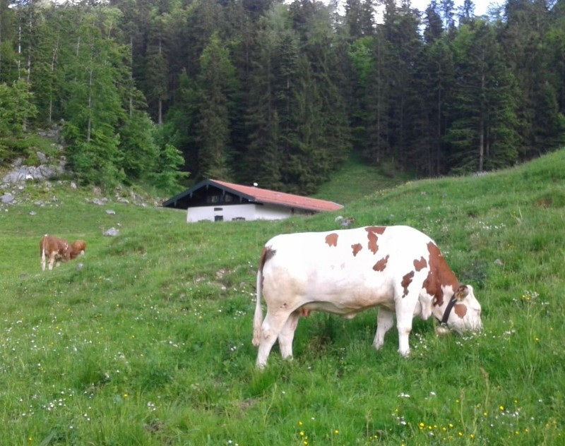 """Alm-Idylle oder """"Klima-Killer""""? – Rinder sollen bis zu 25 Prozent Anteil Austoss des Treibhausgases Methan haben. (Foto ©WiSiTiA/aw)"""