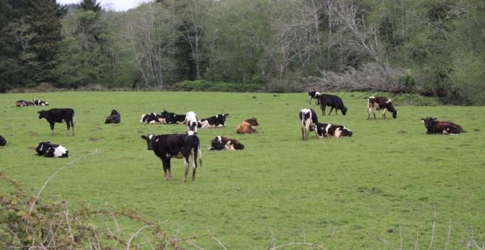 Jungrinder auf der Weide