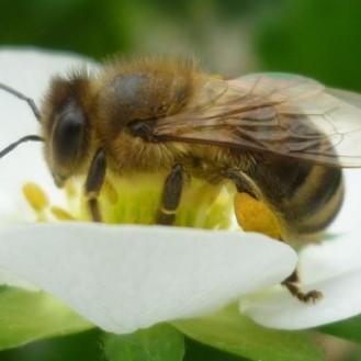 Bienen als Transporteur von Pilzsporen zum Pflanzenschutz.( Foto: © LAVES IB Celle, Dr. Otto Boecking)