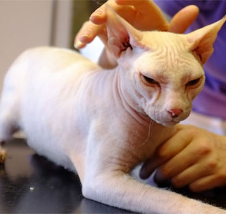 """""""Nackkatzen"""" sind eine Qualzucht – Berliner Gericht entscheidet: Nachzucht verstößt gegen das Tierschutzgesetz. (Foto: © WiSiTiA/hh)"""