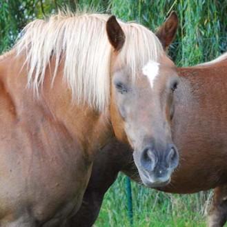 Je beleibter, desto wichtiger – das Gewicht bestimmt bei Pferden die Rangordnung (mit). (Foto: ©WiSiTiA/hh)