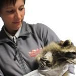 Häufig gesehen in der Tierarztpraxis: Waschbär, Fuchs und Marder