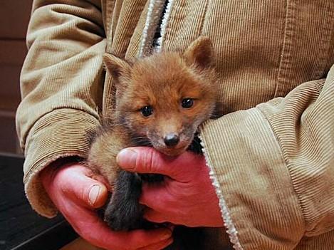 """Als geretteter Welpe """"beliebt"""". Als ausgewachsenes """"Stadttier"""" womöglich eine Gefahr, weil es für Menschen gefährliche Fuchsbandwurmeier ausscheidet. (Foto: © WiSiTiA/hh)"""