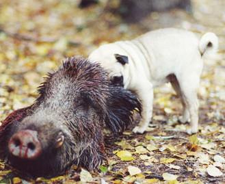 Mops frisst Wildschwein: Vorsicht beim Aufbrechen. (Foto: © Henrik Hofmann)