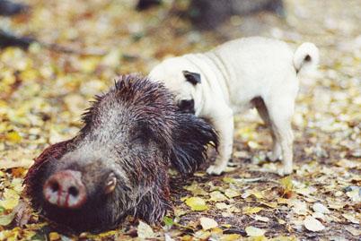 Mops frisst Wildschwein: Vorsicht beim Aufbrechen!