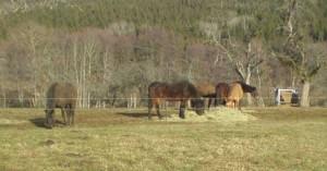 Pferde auf winterlicher Koppel (Quelle: Dr. Cornelia Burger)
