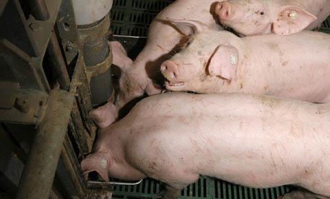 Colistin wird in der Veterinärmedizin häufig beim Schwein oral gegeben, um Salmonellen- oder E. coli-bedingte Enteritiden zu behandeln. (Foto: ©WiSiTiA/hh)