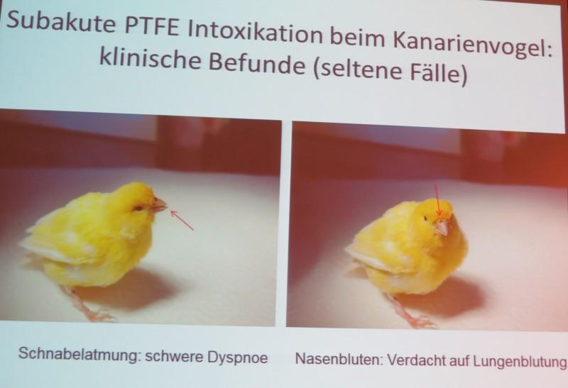 Nasenbluten: Teflonvergiftung beim Kanarienvogel. (© Folie Dr. Norbert Kummerfeld, Klinik für Zier- und Wildvögel, TiHo)