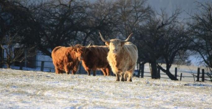 Highland-Rinder im Schnee