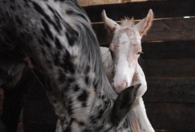 Ein zehntägiges Fohlen ist das erste Pferd, das (dokumentiert) eine Infektion mit Clostridium Botulinum Typ A überlebt hat. (Symbolfoto: ©WiSiTiA/hh)