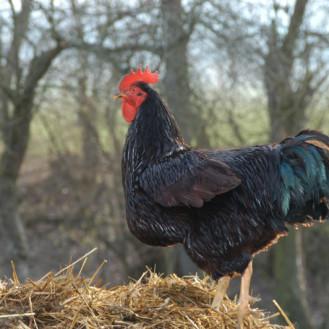 Einen Freilauf nutzen Hühner nur dann richtig, wenn ihn ein Laubdach schützt. (Foto: ©WiSiTiA/Henrik Hofmann)