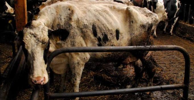 Kuh in einem Problemstall: Zu kurzer Stand ohne Platz für den Kopfschwung. Die Kühe müssen verkehrt aufstehen, wodurch die Hinterbeine stark belastet werden. Das führt zu Schwellungen und Lahmheiten. (Foto: ©WiSiTiA/hh)
