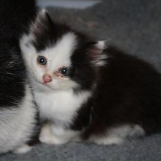 Katzen können sich mit caninem Influenza-Virus infizieren und weiter Katzen anstecken. (Foto: © WiSiTiA/aw)