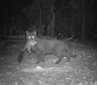 Laut australischer Regierung sind wildlebende Katzen für das Aussterben vieler Tierarten verantwortlich. (Foto: © ecologicalhirizons)