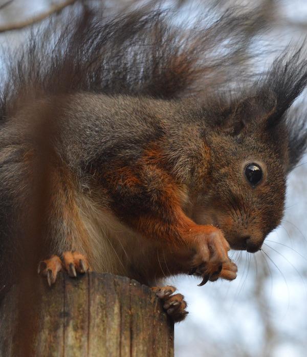 Tierschutzprojekte wie die Eichhörnchen-Nothilfe helfen mit der unfreiwilligen Entschleunigung zurecht zu kommen. (Foto: ©TVD)