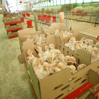 US-Studien sagen: Putenküken besser schon vor dem Transport füttern und nicht erst nach dem Einstallen. (Foto: © geflügel-charta.de)