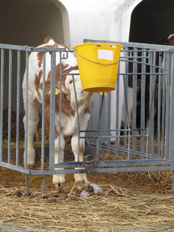 Ideale Tränkemenge für junge Kälber: drei Mal täglich zwei Liter. (Foto: © WISiTiA/aw)