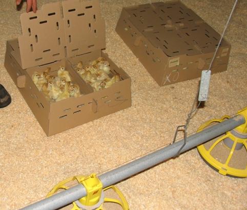 Bisher haben Küken erst Zugang zu Futter und Wasser, wenn sie im Maststall ankommen. (Foto: © Initiative massentierhaltung-aufgedeckt.de)