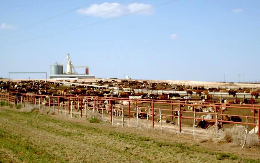 Feedlot – Rinderhaltung unter freiem Himmel in den USA.
