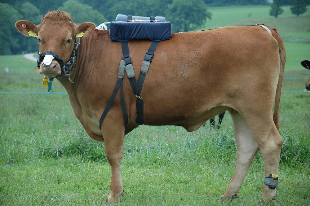 Kühe als Klimakiller? Forscher messen den Treibhausgasausstoß. (Foto: © agroscope.ch)