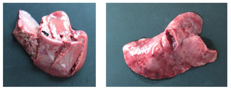 RHD-Symptome an Leber und Lunge eines erkrankten Kaninchens