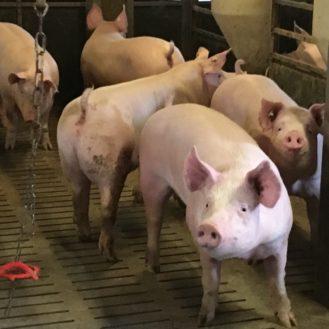 Colistin: EU sieht hohes Resistenzrisiko und verlangt, das weniger Antibiotika eingesetzt wird, vor allem bei Schwein und Geflügel.