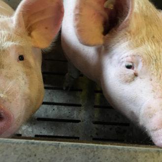 Aufgeweckt oder introvertiert, männlich oder weiblich – Schweine grunzen abhängig von Geschlecht und ihrer Persönlichkeitsstruktur sehr unterschiedlich.